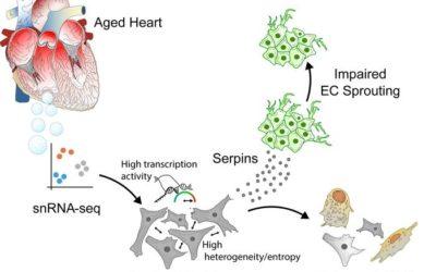 "JCI Insight ""Transcriptional heterogeneity of fibroblasts is a hallmark of the aging heart"""
