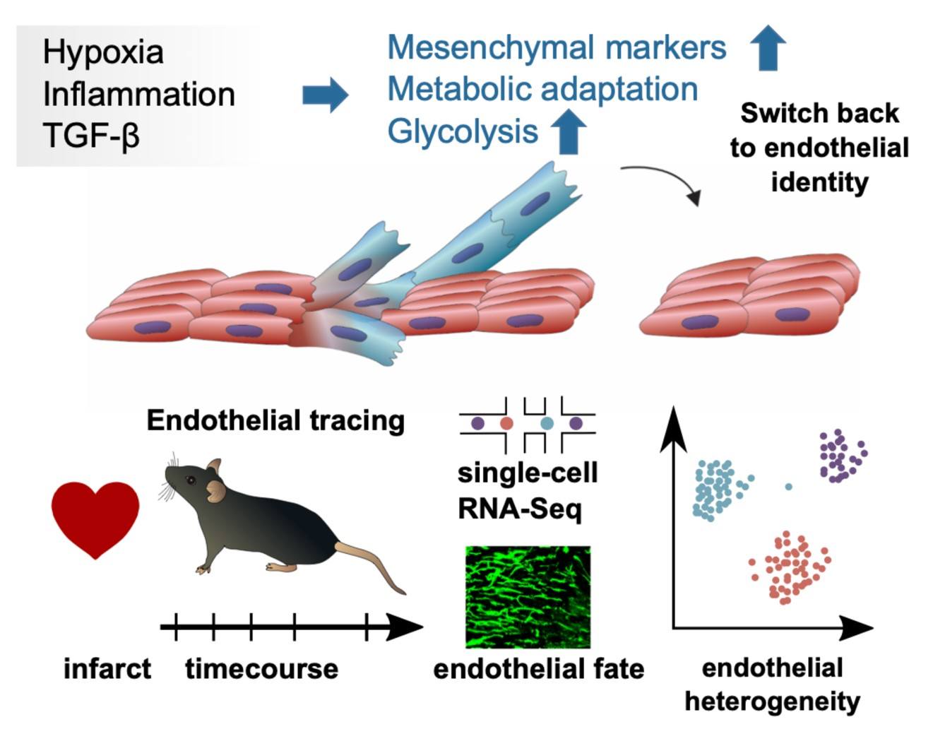 Nature Communications: Endothelial cells show transient mesenchymal phenotype after infarct